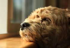 Waiting for him. A loyal dog is waiting for her owner at the window Stock Photography