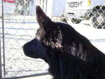 Waiting for a Home. A wolf hybrid at the local animal shelter Royalty Free Stock Photos