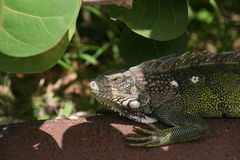 Waiting Iguana. Iguana waiting for the sun to cool down, on a water pipe Royalty Free Stock Image