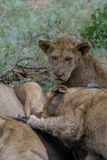 Waiting. Lion cub waiting for its turn to feed on buffalo carcass Royalty Free Stock Photos