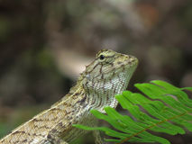 Waiting. Lizard perching on a tree hunting for food Royalty Free Stock Photo