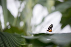 Waiting for a lover. Black and orange butterfly resting on a leaf Royalty Free Stock Photos