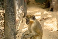 Monkey in zoo, Bangkok Thailand. Waiting monkey in safari world zoo  Bangkok  Thailand Royalty Free Stock Photo