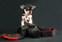 Waiting For The Muse - Chihuahua puppy with Photo Camera Royalty Free Stock Images
