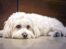 Waiting for my master. Cute white Bichon waitingat the door  for his master to return Stock Images