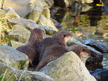 Waiting otters on the bank Royalty Free Stock Image
