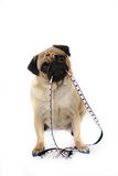 Waiting Patiently. Pretty Female Pug holding her polka dot leash in her mouth Royalty Free Stock Photo