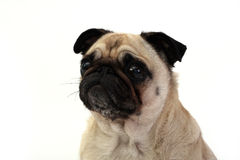 Waiting Patiently. Pretty Female Pug staring at her owner with white background Stock Photo