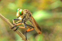 Waiting for prey. Little robberfly was waiting fot his prey Royalty Free Stock Image