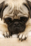 Waiting Pug Royalty Free Stock Photography