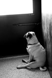 Waiting Pug. A waiting Pug by the door Royalty Free Stock Images