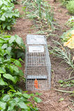 Waiting For The Rabbit. An angled view of a live bait trap set in a row of a vegetable garden Stock Photo