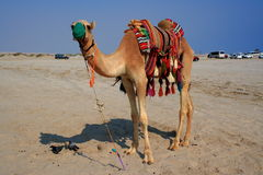 Waiting a rider. Camel waiting a turist to ride it royalty free stock image