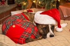 Waiting for Santa. A cute dog waiting for Santa Stock Image