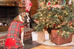 Waiting for Santa. A cute dog waiting for Santa Royalty Free Stock Photos
