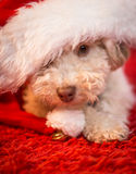Waiting for santa. Cute little dog with Santa`s hat Royalty Free Stock Photo