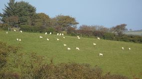 Waiting for sheering. Sheep in a green field Royalty Free Stock Images