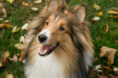 Waiting Sheltie. A Sshetland Sheepdog sits in the grass waiting for his toy stock photography