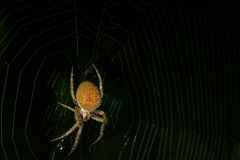 Waiting. A  spider shot at night with black background background Royalty Free Stock Photo