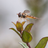 Waiting Spot. A hoverfly sits atop a green leaf stock photography