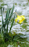 Waiting for spring. A yellow daffodil flower in the snow waiting for spring royalty free stock photography