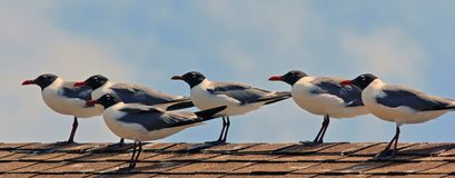 Waiting for the sunset. Several seagulls resting on the roof waiting for the sunset Stock Photography