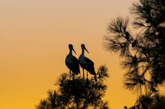 Waiting for sunset, two stork Stock Photography