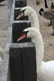 Waiting Swans stock image