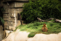 Waiting Tiger. A tiger turns his back to pay attention to something that has caught his eye Royalty Free Stock Photos