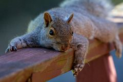 Waiting to be fed!!!. This little gray squirrel sits on my deck rail all the time waiting for me to fed him..so loves the camera stock photography