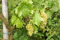 Waiting to be picked. Large grapes haging in a vineyard, just days before the harvest Royalty Free Stock Photos