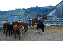 Waiting to brand. Ranch horse tied to post in pen with calves to brand royalty free stock images