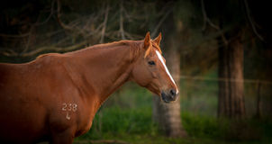 Waiting to foal Royalty Free Stock Images