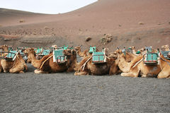 Waiting for the Tourists. Camels all saddled and muzzled, waiting for their turn to take some tourists up the side of a volcano in the Timanfaya National Park stock photos