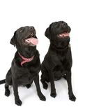 Waiting on a treat!!. Two black Labrador dogs posing for the camera stock image