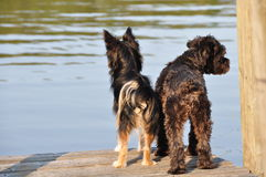 Waiting. The two dogs are waiting on the edge of the lake Stock Photos
