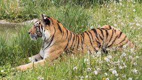 Waiting by the water. Tiger laying in the grass by a water pond Stock Image