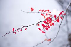 Macro shot of white snow on top of brightly red autumn leaves and berries in barberry bush Stock Photography