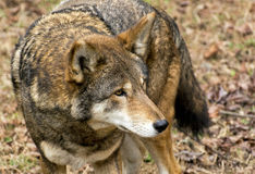 A waiting wolf. A red wolf waits for a meal Stock Images