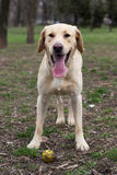 Waiting for you to throw the ball. Labrador retriever dog waiting for you to throw the ball Royalty Free Stock Image