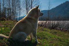 Waiting for your beloved master. Siberian husky is a breed of dog, characterized by thick hair and the eyes with the enchanting beauty of various colors. In royalty free stock photos