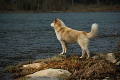 Waiting for your beloved master. Siberian husky is a breed of dog, characterized by thick hair and the eyes with the enchanting beauty of various colors. In stock photo