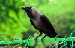 Waitng nero indiano del corvo Fotografia Stock