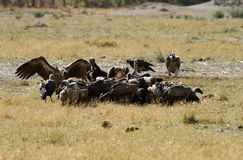A wake of Old World Vultures. Stock Photography