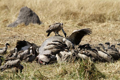 A wake of Old World Vultures. Royalty Free Stock Photo