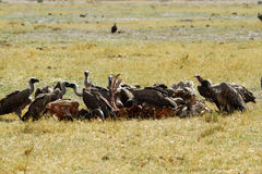 A wake of Old World Vultures. Stock Images