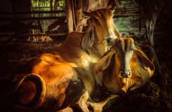 Wake up. Cow family in my uncle farm thailand Royalty Free Stock Image