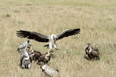 A wake of Vultures Stock Photos