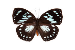 Wakefieldi preto e azul de Euxanthe da borboleta Fotografia de Stock Royalty Free