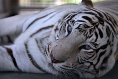 Waking. Rare White Tiger in captivity waking from an afternoon nap Stock Images